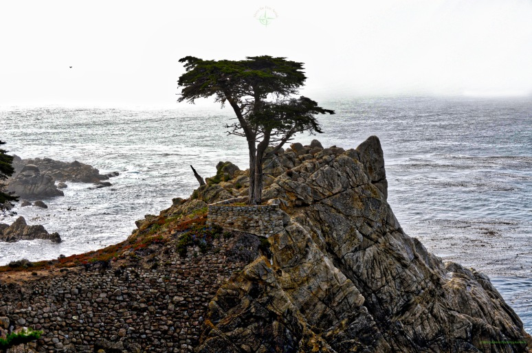 The Ghost Tree of 17 Mile Drive - Carmel , CA